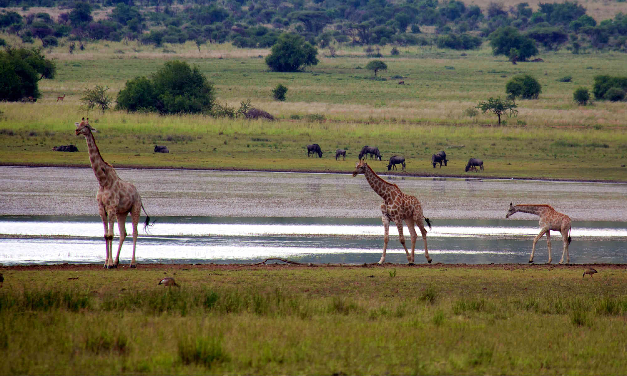 giraffe family at watering hole with wildebeest across the water