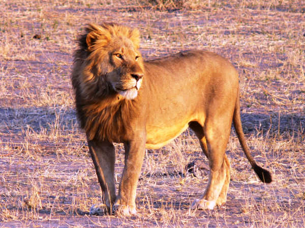 lion on kruger national park tour
