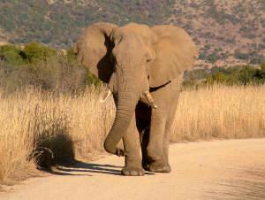 elephant in pilanesberg national park