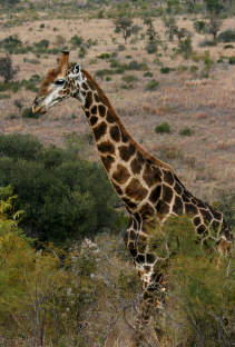 giraffe in pilanesburg national park